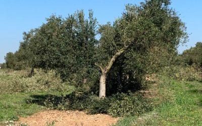 ¿Está la poda del olivo ligada a la calidad del AOVE?