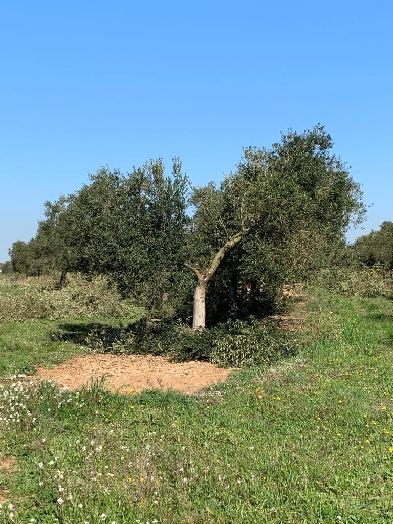 Poda del olivar calidad de los aoves