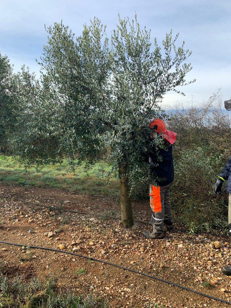 poda del olivo calidad aove